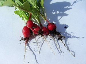 Fresh harvested: Fresh organic radish just harvested from the balcony and still covered with soil