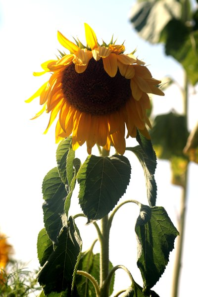 Sunflower1: Sunflower on a white background in September. It schows grief, heavy burden and oppressiveness.