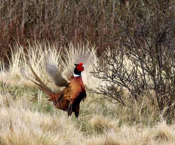 Pheasant 2: Male pheasant which flaps his wings