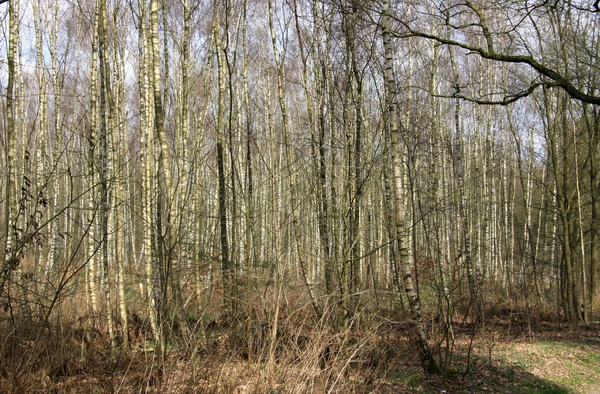 Birch forest: Birch trees in a forest in spring. The sun is folling through the thin truncks.