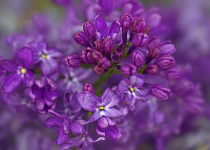Dreamy Lilac: A close up of a lilac.
