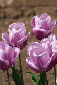 Tulips: Tulip flowers