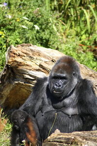 Mother and baby Gorilla: That includes you !