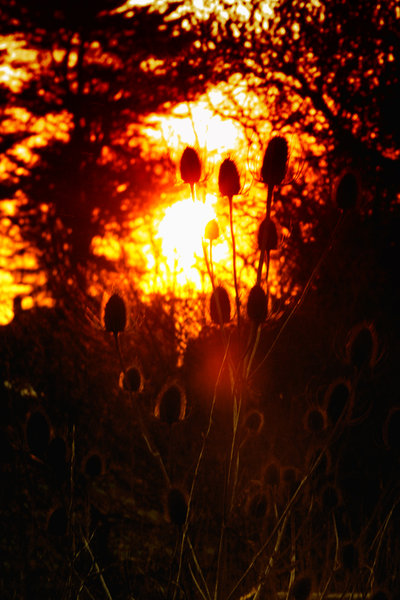 Teasels at dawn: Teasels with the sun rising in the background