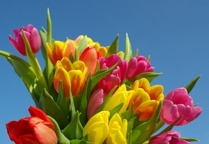 tulips1: colorful tulips