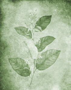 Botanical background: Botanical drawing was used on several layers