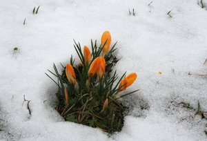 spring has broken: Crocuses: heralds of the spring