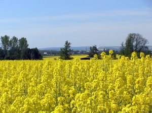 Canola Fields 2: Canola Fields in North Rhine-Westphalia, Germany.
