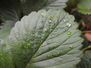 Strawberry Leaf: A strawberry leaf after the rain.