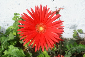 red flower: A beautiful red flower displays its joy of life.