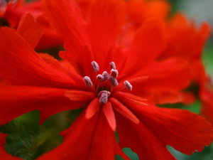 weirdo flowers (6): a very, very red blossom; closeup