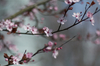 Spring: Early spring scene. Branch with soft spring blossoms on blue/grey background.