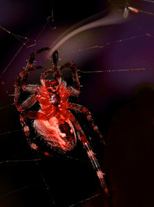 Spider demon: Red colored spider, reaching for a fly