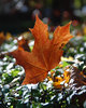 maple leaf: Golden-red maple leaf from Poland
