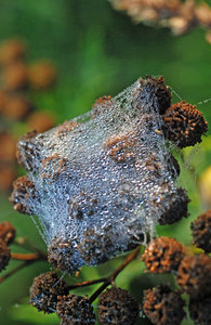 Dew on the web: Dew-drops on spider-web, mornings in Poland