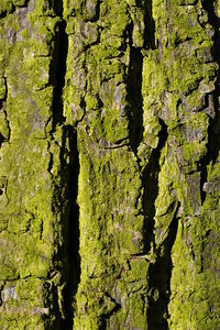 Bark - texture 2: Bark is the outermost layers of stems and roots of woody plants