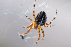 Orb-weaver spider 4: Spider from Araneidae family