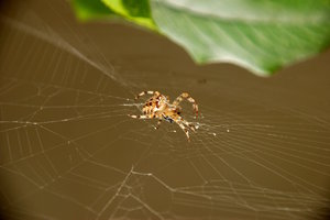 Orb-weaver spider and the vict: Orb-weaver spider