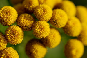 Tanacetum vulgare flowers 2: Perennial herbaceous flowering plant of the aster family that is native to temperate Europe and Asia