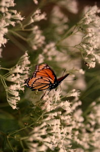 Monarch butterfly 1: Big butterfly on the flower
