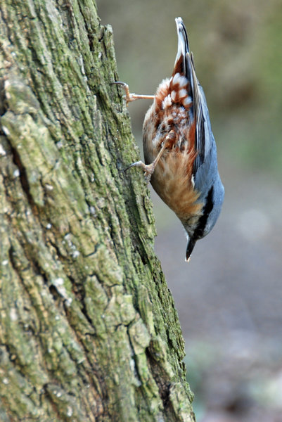 Bird - Sitta europaea: The bird called Eurasian Nuthatch, Spring in Poland