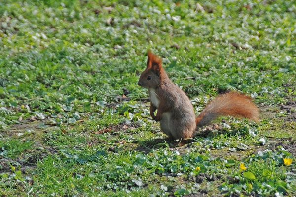 Red squirrel 1: Squirrel at spring