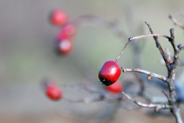 hawthorn: Red fruit of hawthorn at winter