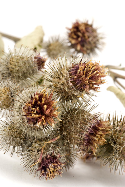 Thistle 1: Dried thistle
