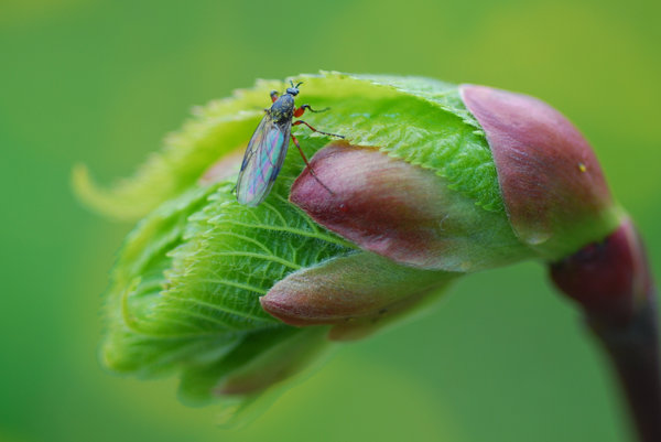 Birth of the leaf  with the co: Fly on the buddy of lime-tree