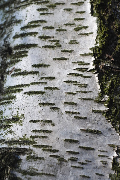 Bark - texture 5: Bark is the outermost layers of stems and roots of woody plants