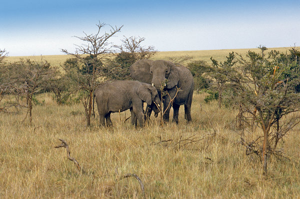 Elephant in Serengeti National: Elephants are large land mammals of the order Proboscidea and the family Elephantidae. There are three living species: the African Bush Elephant, the African Forest Elephant and the Asian Elephant (also known as the Indian Elephant).