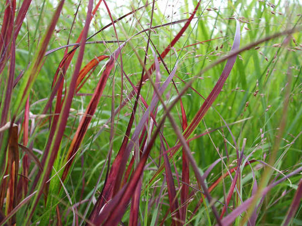 Japanese Blood Grass: Japanese blood grass shot close up on overcast day.