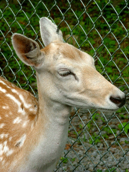 Fawn: A young fawn smiling at me!