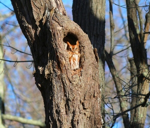tiny owl: screech owl in tree hole, shot at norman bird sanctuary in middletown ri