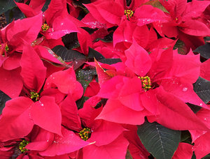 Poinsettia: no description