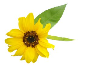 sunflower: small sunflower