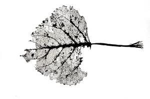 leaf: the transparent remains of an old autumn leaf