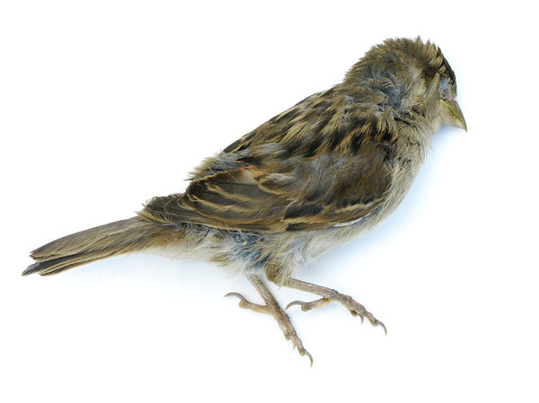 little bird: Poor little dead bird, found in my kitchen.Probably a catch of one of my cats.It is a young Sparrow. Died young and innocent.
