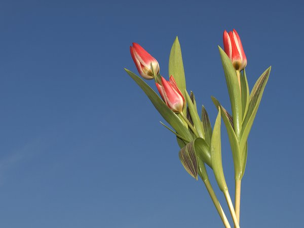 tulips: it is spring!