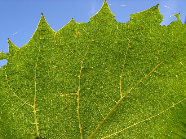 leaf: a grape leaf in the warm sunshine.No it is not the south of France; it is the Netherlands!