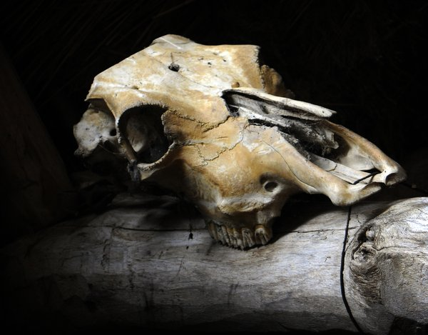 Skull: An old animal skull. Maybe a horse