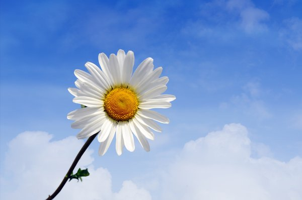 Flower: Daisy with blurred clouds