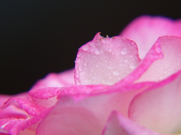Rose and Drops: The macrophotograpy is my addiction!