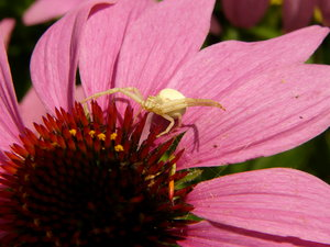 Crab spider waiting: Crab spider waiting in a typical pose on coneflower