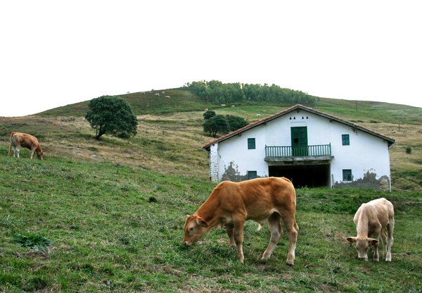 farm cows: some cows in spain, Bilbao