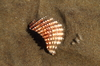 Sea shell: A broken sea shell on a sandy beach