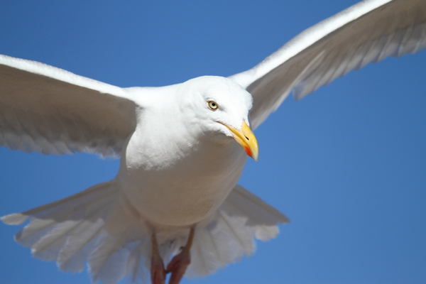 Herring Gull: Herring gull in flight