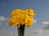 Easter daffodil bouquet: Easter daffodil bouquet in front of bright spring sky.