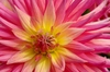 Dahlia - close: Flower from the Dahlia family at close range
