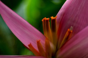 Banana Flower: The flower from a Banana palm